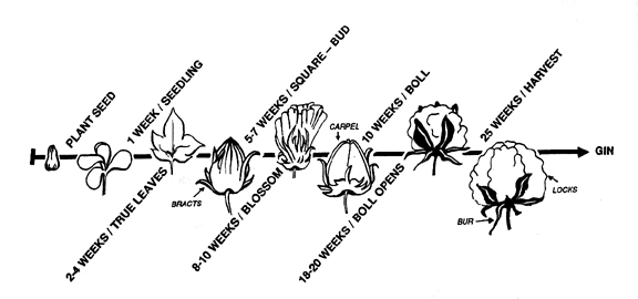 Life cycle of a cotton plant