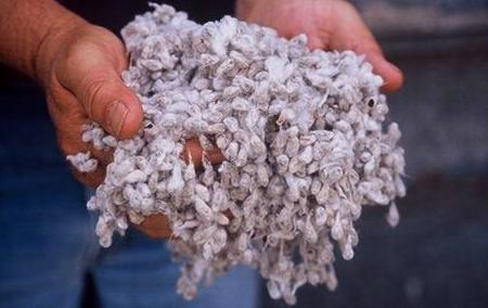 Cottonseeds by the handful